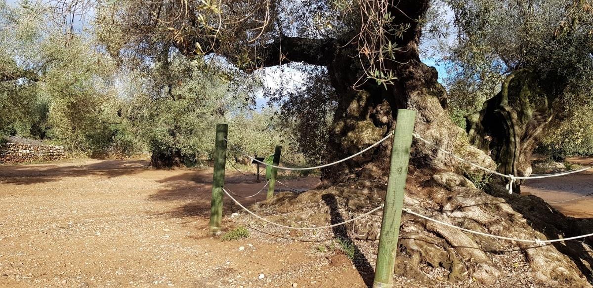 Visita a los olivos milenarios del Arión